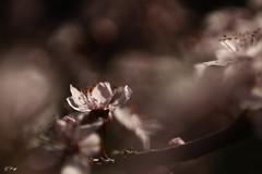 PRUNUS-Da kommen die Farben - Pink (FLOCVROFF 1M views Thanks to you all) Tags: pink prunus cerisier spring frühling printemps chivaroff 50mm proxi nature bokehlicious