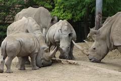 IMG_1382 (Medium) (gilsch) Tags: france zooparcdebeauval zoo animal beauval rhinoceros rhino