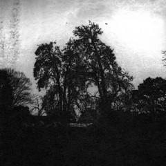 Old pear trees (Rosenthal Photography) Tags: washiw25 rolleiflex35f winter tetenaleukobrom1120°c3min 6x6 schwarzweiss ilfordrapidfixer asa25 bäume 20181205 pflanzen epsonv800 mittelformat städte ff120 anderlingen analog landschaft dörfer siedlungen oldpeartrees peartrees trees landscape contrast mood december blackandwhite dark darkness daysofdarkness rollei rolleiflex sk schneiderkreuznach xenotar 75mm f35 35f washi filmwashi washiw tetenal eukobrom 11 epson v800