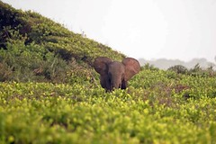 Forest elephant by the Atlantic Ocean Loango National Park in Gabon (inyathi) Tags: africa centralafrica gabon elephant forestelephant loxodontacyclotis africanelephants africanwildlife africananimals loango nationalparks atlanticocean