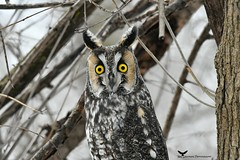 Moyenduc1_FB (ronaldgauthier) Tags: owl longearedowl nature wildlife birdsofprey birding bird birds wildlifephotography moyenduc