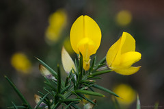 gorse in bloom 2/100x 2019 (sure2talk) Tags: gorseinbloom gorse yellow nikond7000 nikkor1855mmf3556afs macro closeup 100xthe2019edition 100x2019 image2100 2100x2019 lookingcloseonfriday