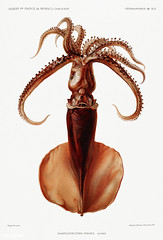Squid vintage poster (Free Public Domain Illustrations by rawpixel) Tags: alberti albertiprinceofmonaco albertier animal antique aquatic art book calamari campagnesscientifiques cc0 creativecommons0 decor decoration delicacy design drawing expedition fish food free illustration images ingredient life marine mediterranean name nature nautical northatlantic ocean old painting picture poster princesouveraindemonaco print publicdomain resultsofthescientificcampaigns science scientific scientificexpeditions sea seafood sealife species squid style vintage zoology