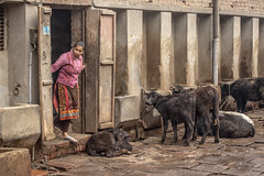 A little bit of colour, street in Varanasi - India (.stuart hamilton) Tags: woman lady colour clothes india indian cattle cows buffalo brown dirty house farm dress pink baby calf