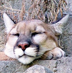 CD Cover (7) (PhotoJester40) Tags: outdoors outside zoo animal square kitty cougar sleeping peaceful calm amdphotographer