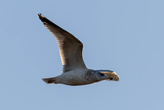 Seagull (Liam Waddell) Tags: seagull sky blue white black brown flying irvine river ayrshire bogside sssi scotland