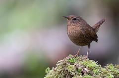 Eager Wren (rmikulec) Tags: troglodytes pacificus wren pacific birding wild wildlife animal sony a7riii 100400gm bird nature