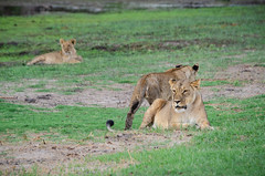 Löwen / Lions (brainstorm1984) Tags: big5 lioness löwen makgadikgadi junges cubs lion botetiriver lioncub löwenjunge löwin leroolatau jungtier elangeniafricanadventures boteti safari junge desertdeltasafaris lioncubs makgadikgadipansnationalpark botswana junglöwe cub lions wildfelinephotography pantherschildkröte wildlife jungtiere löwenjunges makgadikgadipansgamereserve löwe junglöwen bigfive centraldistrict bw
