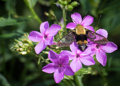 Snowberry Clearwing on Phlox (hickamorehackamore) Tags: ct connecticut gardenphlox haddam hemaristhysbe hummingbirdclearwing nwf phlox phloxpaniculata snowberryclearwing backyard certified habitat hummingbirdmoth moth native nativewildflower wildflower wildlife