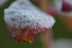 Frosty Morning (macromerriment) Tags: sigma180mmf28macroexdgoshsm macro frost blueberry leaf vaccinium cyanococcus