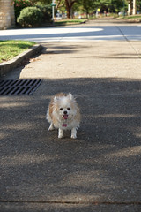 20181207-DSC01104 (PM Clark) Tags: chihuahua pure bred sydney park dog