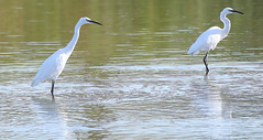 The great egret (White Heron) (roland_tempels) Tags: heron whiteheron supershot kallo belgium water nature grootrietveld greategret