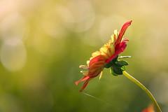 Dahlia (mclcbooks) Tags: flower flowers floral macro closeup dahlia dahlias denverbotanicgardens colorado