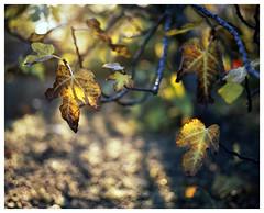 Fig, before the solstice (TPStearns) Tags: film pentax67ii provia 105mmf24 120 6x7 mediumformat