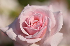 Rose 'Opheria' raised in UK (naruo0720) Tags: rose englishrose opheria englishrosescollection bredbydavidausitin バラ イギリスのバラ オーフエリア イギリスのバラコレクション オースティンのバラ sigmalenses nikonscamera sigma105mmf28exdgoshsm d610