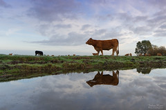 I see You! Do You see Me? (Johan Konz) Tags: morning mood animal cow green grass field water blue sky cloud reflection homestead landscape outdoor durgerdam waterland netherlands nikon d7500