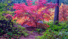 Arboretum (kwphotos.com) Tags: fall autumn trees foliage red yellow green japans maples maple valley washington wa landscape flora park color colorful fuji xt2