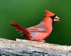 DSC_5493=3Cardinal (laurie.mccarty) Tags: bird northerncardinal bokeh wood wildlife nature