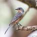 Silverbird juvenile (Lifer) (Bruno Conjeaud) Tags: pourpre silverbird uganda murchinsonfalls
