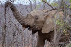 Young elephant cow (leendert3) Tags: leonmolenaar southafrica krugernationalpark wildlife nature mammals africanelephant ngc npc coth5