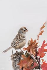 ''En garde!''Bruant à couronne blanche-White-crowned sparrow (pascaleforest) Tags: oiseau bird animal passion nature nikon automne wild wildlife faune québec canada