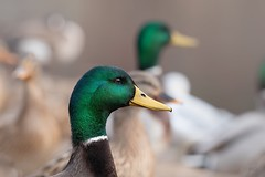 Gazing on beautiful things acts on my soul.              -Michelangelo (Melinda G Pix) Tags: hunting nature pond mallard bird waterfowl duck