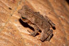 Rhinella sp. (a leaf-litter toad) - Bufonidae - Pipeline Road, Soberiana NP, Panama (Nature21290) Tags: amphibian anura bufonidae lowlandbroadleaftropicalevergreenforest panama2018 pipelineroad rhinella soberiananp toad