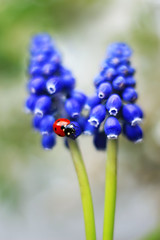 Muscari (ElenAndreeva) Tags: flower blossom blooming petal rose daisy gypsophila spring freshness nature macro summer sun light ladybug bug insect garden colors blue bokeh canon amazing top beauty best focus moscow colorful composition andreeva like fantasy autumn new