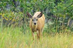 Mule Deer (Odocoileus hemionus) doe (R-Gasman) Tags: travel animal muledeer odocoileushemionus doe inglewoodbirdsanctuary calgary alberta canada