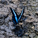 Banded Blue Swallowtail (Papilio oribazus), male
