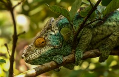 Chameleon  (in explore) (Rod Waddington) Tags: madagascar malgasy chameleon nature wildlife wild animal lizard forest outdoor
