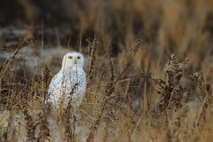 Snowy Owl (Bubo scandiacus) at the Jersey Shore (Douglas Heusser Photography) Tags: migratory migration nature dunes shore ocean beach jersey new no birdwatcher birdwatching predator raptor bird snowyowl owl snowy scandiacus bubo