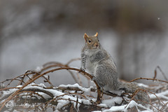 Making a Christmas wish.. (dbifulco) Tags: nature cherrytree easterngraysquirrel eyeclosed newjersey snow wildlife winter