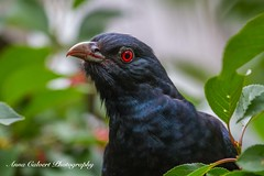 Eastern Koel (Anna Calvert Photography) Tags: australia canberra outdoors birds easternkoel commoneasternkoel male mygarden cherries tree nature redeyes