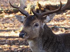 Portrait of a deer (Ostseetroll) Tags: deu deutschland geo:lat=5394919970 geo:lon=1002615550 geotagged schleswigholstein weide wildparkeekholt hirsch herbst deer autumn olympus em5markii