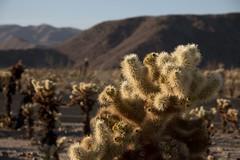 Cholla Cactus (RubénRamosBlanco) Tags: naturaleza nature plantas plants cactus cacti chollacactus teddybearcholla cholla cylindropuntiabigelovii paisaje landscape desierto desert color verano summer chollagarden joshuatreenationalpark california usa