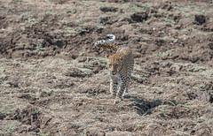Wayward tail (Tris Enticknap) Tags: africa zambia cat southluangwa africanleopard leopard pantherapardus pantheraparduspardus