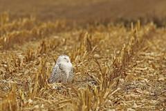 Harfang des neiges / Snowy Owl (alainmaire71) Tags: bird strigidae owl harfang buboscandiacus harfangdesneiges snowyowl nature quebec canada bokeh