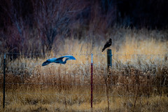 Blue heron and the Hawk