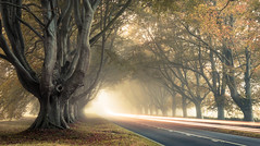 From out of the mist! (Nathan J Hammonds) Tags: mist misty long exposure tree trees autumn kingston lacy beech movement lights leaves road dorset uk old king