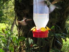 Hummingbird3 in Monteverde (seligmanwaite) Tags: costarica monteverde monteverdecloudforest bird hummingbird