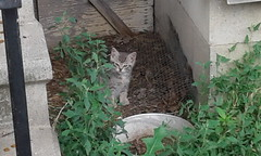 A Gray Kitten (universalcatfanatic) Tags: cats grey gray kitten cat hide hiding old house tall green weeds eyes eye young country rural semi feral semiferal summer tabby light step steps concrete cement black rail railing dirt family colony mesh