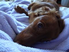 Ringo (carolyuki) Tags: 愛犬 カンニンヘン ダックス 犬 dog indoor dachshund