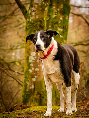 Zac in January-3 (grahamrobb888) Tags: zac pet dog animal mammal birnamwood d500 nikon nikond500 nikkor afnikkor80200mm128ed