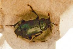 P1140643 smelly beetle (ajmatthehiddenhouse) Tags: uk stmargaretsatcliffe kent 2018 coleoptera beetle insect