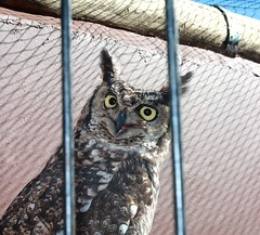 cute owl (CatnessGrace) Tags: owl nature owls birds avians eyes
