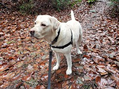 Gracie among the leaves (walneylad) Tags: gracie dog canine pet puppy cute lab labrador labradorretriever december winter westlynn lynnvalley