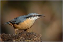 European Nuthatch (Sitta europaea) (Smudge 9000) Tags: 2018 300mmpro birds bossenden europeannuthatch nuthatch omd sittaeuropaea autumn