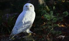 Schneeeule (hansjrgenknppel) Tags: schneeeule vogel natur umwelt germany deutschland hansjuergen knueppel nikon d 7100 nikkor 28 70200mm