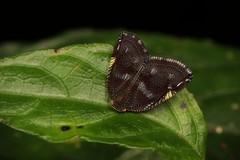Ricaniid Planthopper (Ricanula sp., Ricaniidae) (John Horstman (itchydogimages, SINOBUG)) Tags: insect macro china yunnan itchydogimages sinobug entomology canon bug hopper planthopper hemiptera ricaniidae